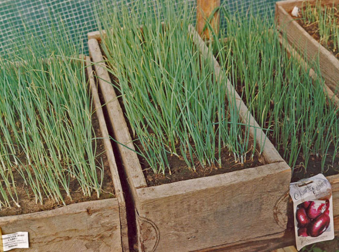 Выращивание лука семенами дачный участок.